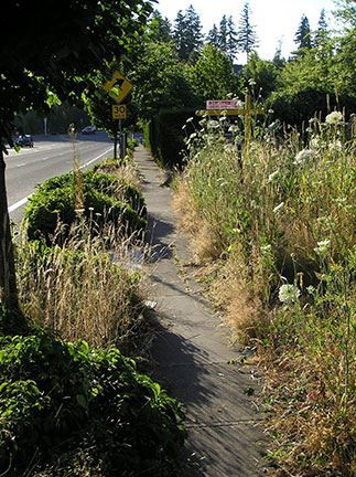 Residential sidewalk impacted by very tall weeds and other noxious vegetation.
