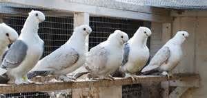 Row of mostly white pigeons perched on a ledge near a coup.